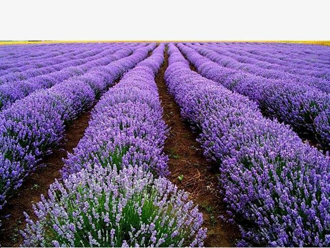 RUSSIA -LAVENDER PRODUCTION ef : RU20