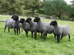Russia - sheep farm for sale
